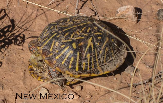 New Mexico Box Turtle